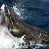 ホホジロザメvsホホジロザメの貴重映像