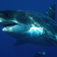 シャーク サメ 鮫