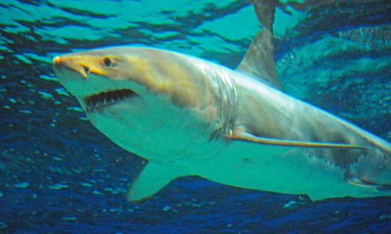 ホホジロザメの画像 p1_22