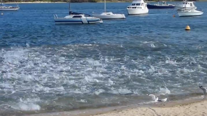 浅瀬で鮭の大群が引き起こす水飛沫